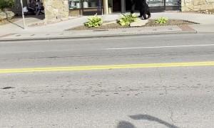 Black Bear Checks Out Downtown Gatlinburg