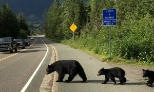 Bear Family Finds Their Way Across the Road