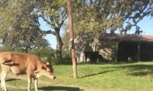 Pet Cow Excited over Furniture Dolly