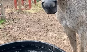Silver the Horse Chomps Water