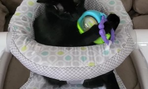 Cat Playing in Baby Chair