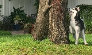 Curious Husky Plays With Cheeky Squirrel
