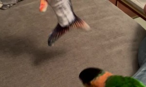 Parrot Plays with Fish Toy