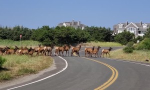 Elk Herd Crosses Beachfront Road