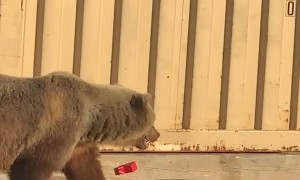 Bear Sow and Her Cubs Rummage Around Dumpsters