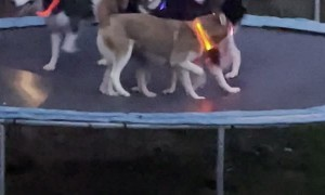 Trampoline Party for Glowing Husky Pack