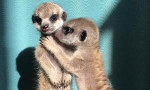 Miniature Meerkat Babies