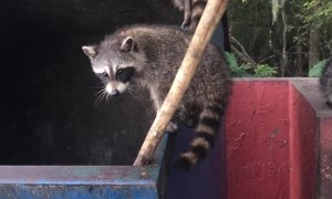Dude Saves Raccoon Family in Dumpster