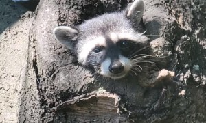 Friendly Raccoon Pops Out to Say Hello