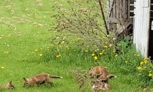 Baby Foxes Play Next to Old Barn