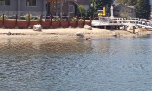 Bear Swims Across Lake Tahoe With Cubs in Tow