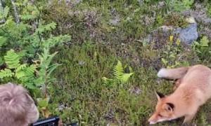 Fearless fox cub casually investigates photographer
