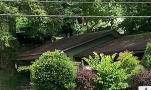Black Bear Walks on Roof