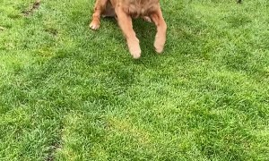 Goofy Golden Knows How to Leap Frog
