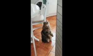 Unusual Cat Sits to Watch Cartoons