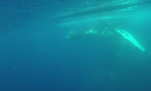 Whales Cruise along Queensland Coast