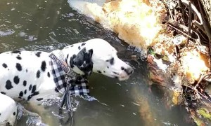 Dalmatian Goes for a Dip