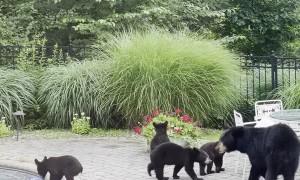 Mama Bear Brings Five Cubs for a Swim in Backyard Pool