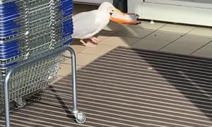 Seagull Thief at it Again