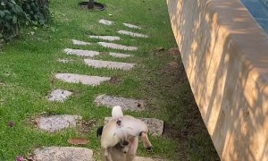 Pug Has Peculiar Way of Peeing