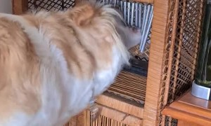 Clever Doggy Obsessed With Wind Chime