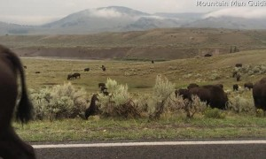 Bison Defends His Territory During Mating Season