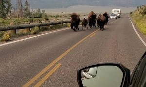 Bustling Bison Family Charges Down Road