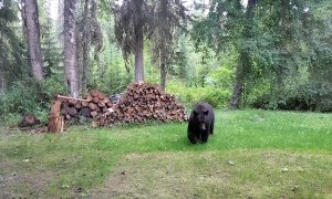 Bear Visits Workers on Work Site
