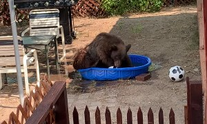 Bear Takes a Dip in Doggy's Pool