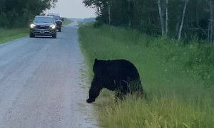 Black Bear With a Back Itch