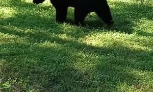 Bear Scratches Itself on Pole