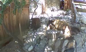 Bear Family Enjoy Playing in Backyard Pond