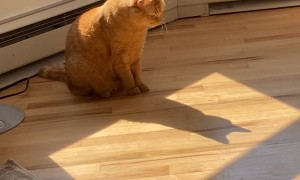 Traffic the Tabby Cat is Batcat