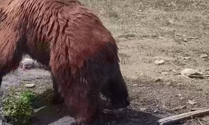 Rescued Grizzly Playing with a Log