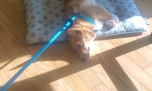 Doggy Makes a Choice Between Walking and Bed