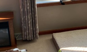 Vocal Husky Pleads for Feline Friendship