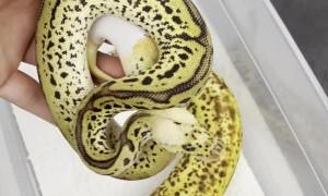 Ball Python or Banana?
