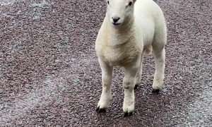 Sheep Family Stops Lady on Highway