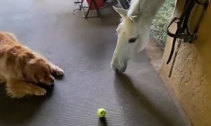 Golden George Wants to Play Ball with Horse