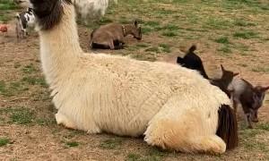 Goat Kids Use Patient Llama as Trampoline