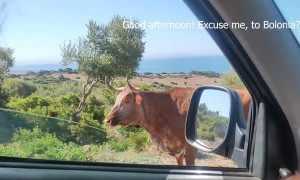 Cow Gives Passersby Some Good Directions