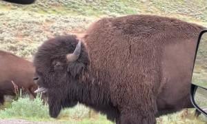Yellowstone Bison Bellows