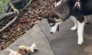 Cat Teases Leashed Puppies