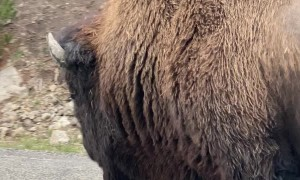 Lone Bison Holds Up Traffic