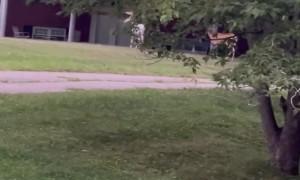 Rare Albino Deer Grazes in Front Lawn