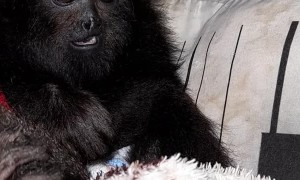Tutor and Howler Monkey Share Special Moment