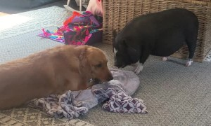 Pig Really Wants to Play with Pup