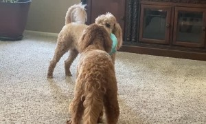 Dog Plays Keep Away From Friend