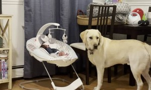 Lab Gently Licks New Brother