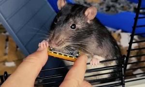 Talented Rat Plays Tiny Harmonica